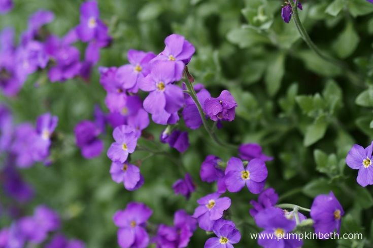 Aubrieta is an easy to grow container plant that also grows well on walls and in rockeries.