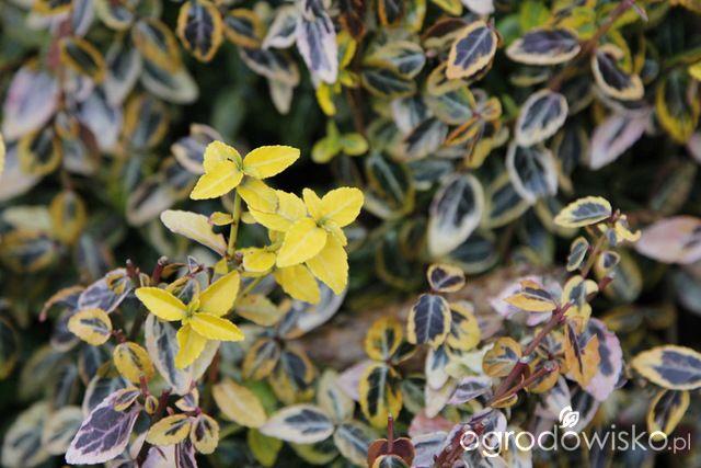 Zimozielony ogród przy białym domu - strona 240 - Forum ogrodnicze - Ogrodowisko