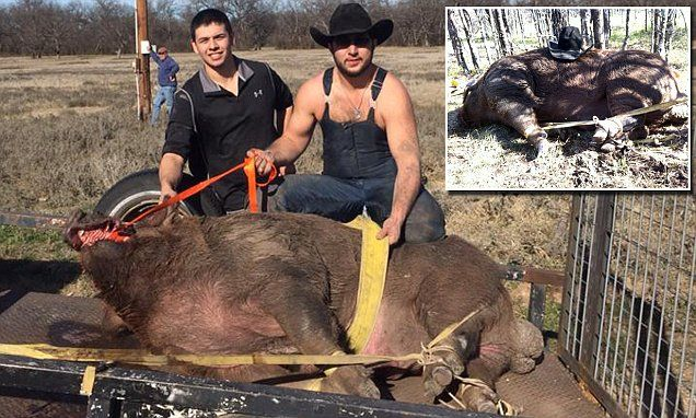 790 pound hog captured and being held at cattle coral in DeLeon, Texas #BanHunting  http://www.dailymail.co.uk/news/article-2931648/Hunters-capture-hog-weighing-nearly-800-POUNDS-Texas.html
