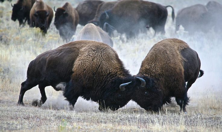 bison chatrooms Be a part of the hawkeyereportcom community for $833/month subscribe subscribe now ticker.