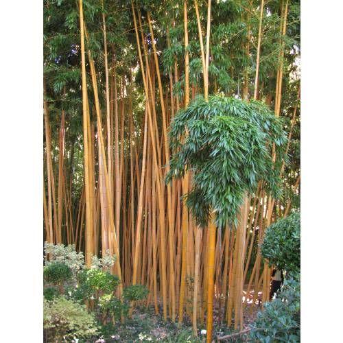 Bambú Phyllostachys vivax aureo.