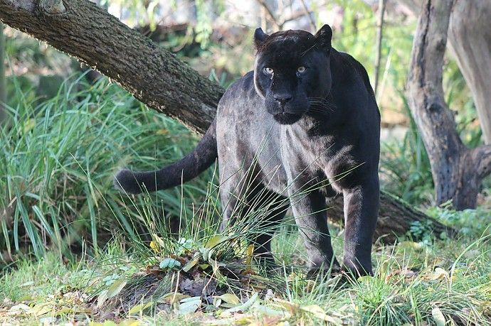 Jaguars in Dierenpark Emmen » Dierenpark Emmen