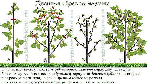 ДВОЙНАЯ ОБРЕЗКА МАЛИНЫ ПО СОБОЛЕВУ   По содержанию полезных веществ малина бьет рекорды. Как вырастить её богатый урожай  ? Самый верный способ для этого — двойная обрезка малины по Соболеву. А…