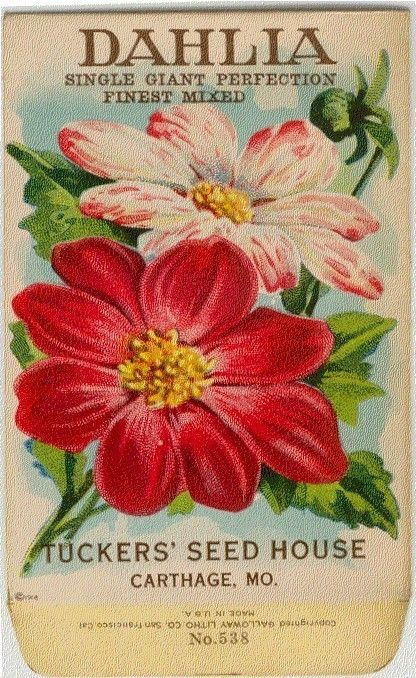 Vintage Flower Seed Packet Tuckers Seed House Lithograph DAHLIA (Carthage, Missouri)