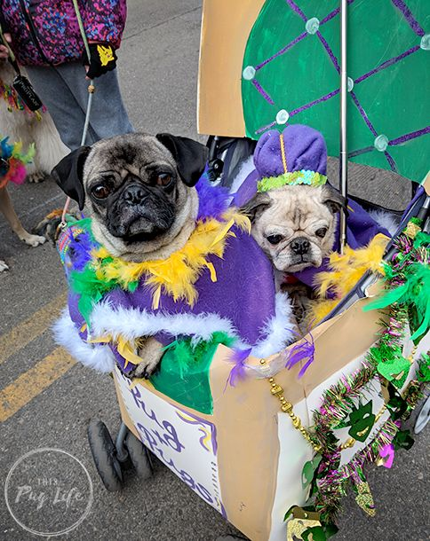This past weekend we kicked off the Mardi Gras season with our fifth Beggin' Pet Parade (Pugs' first). It was miserably cold so the crowds were smaller than usual. But we along with abo…