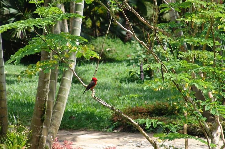 Atrapamoscas Pechirrojo sobre una rama en El Portal, Paraíso Natural.