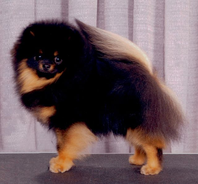 Black and Tan Pomeranian | Dog | Pinterest