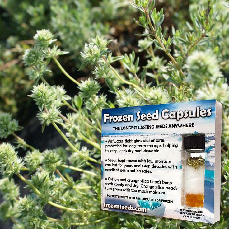 Mastic Thyme Seeds (Thymus mastichina) + FREE Bonus 6 Variety Seed Pack - a $35 Value!