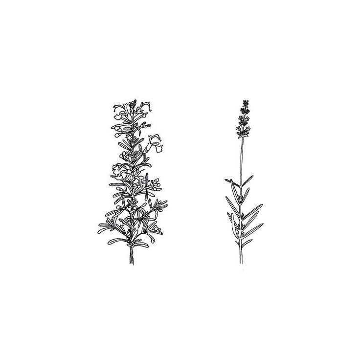 Rosemary & lavender illustration. #illustration #sketch #fineliner #rosemary #lavender #botanical #herbs