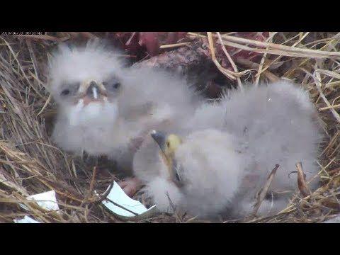 live webcame of bald eagle nest and baby eaglets.   MNBound Eagles 2nd Eaglet's First Morning Close Up 4-18-13