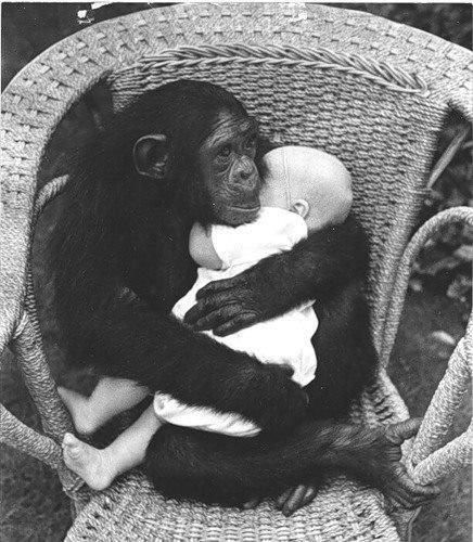Chimpanzee Mom takes care of baby