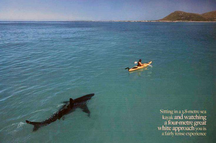 Photographer: Thomas P. Peschak.  Published in African Geographic, Dec 2006.  Wow.  Not photoshopped, these researches used sea kayaks to more easily maneuver and study great white sharks.  They had tested empty kayaks and the sharks showed no aggression, but I don't think that would make me feel any better if I was sitting in that kayak.