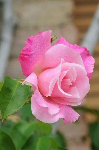 Duel pink rose