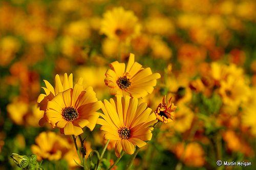 Wildflowers - Namaqua Daisies | Flickr - Photo Sharing!