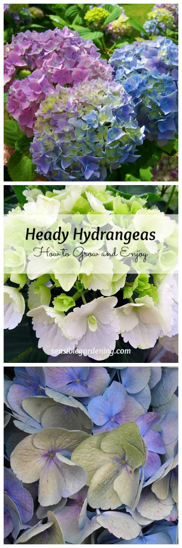 Heady Hydrangeas with Sensible Gardening