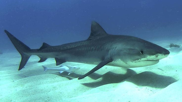 Shark bodies differ according to habitat