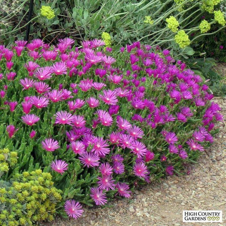 Delosperma cooperi (Cooper's Hardy Ice Plant) blooms much of the summer with large magenta-pink flowers. It grows vigorously as a low mat of succulent foliage.