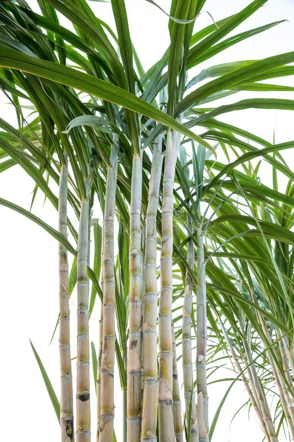 Sugar Cane In The Garden On A White Background Sponsored Cane Sugar Garden Background White Ad Fruit World Nature Images Nature Inspiration