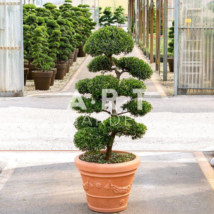 arbre chic arbres nuage japonais bonsai geant pinterest gardens. Black Bedroom Furniture Sets. Home Design Ideas