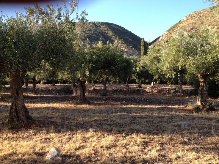 #AndaniaBenEstate #olive #fields  #superior # category #extra #virgin #olive #oil #evoo