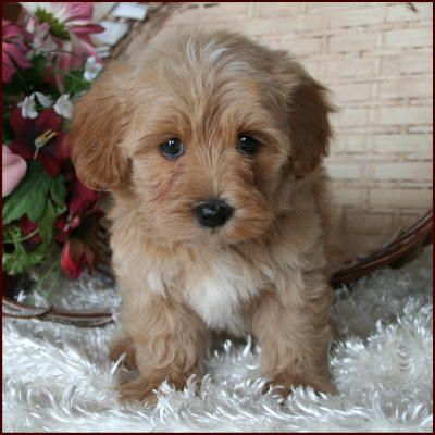 brown maltese dog 17 best ideas about maltese poodle on pinterest maltipoo 7965