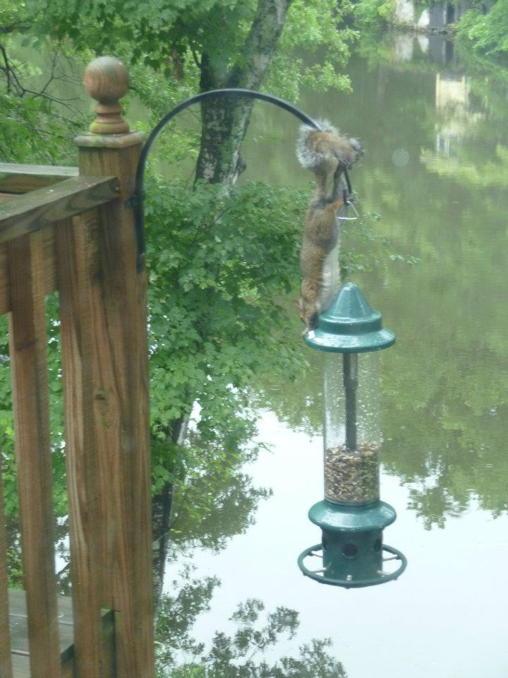 Well, you have to admire their tenacity. They don't give up easily. Perhaps they are not aware that the bird feeders are known as Squirrel Busters and that they are completely Squirrel Proof. We won't tell him if you won't.