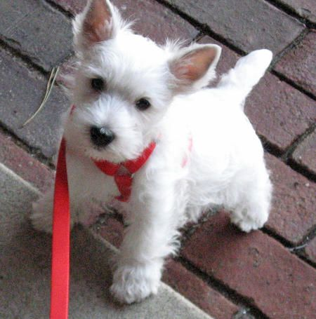 Pluto the West Highland Terrier - our little neighbor made it! @thedailypuppy
