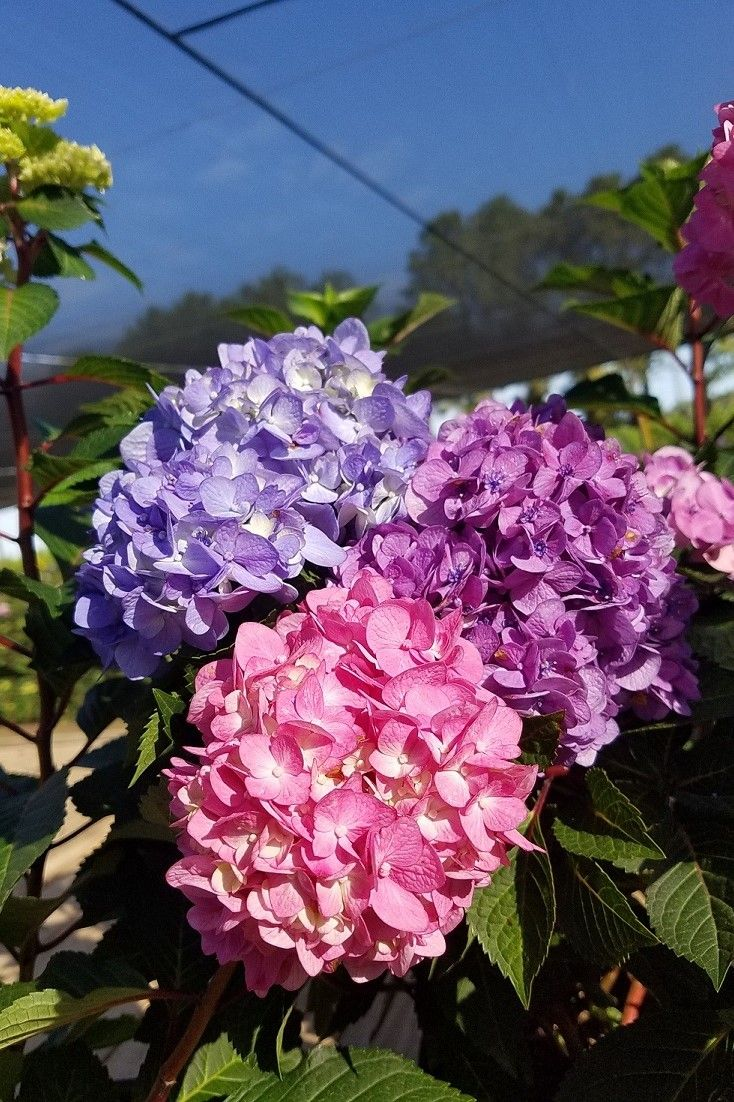 Most shrubs aren't courteous enough to let you pick their bloom color, but you've gotta appreciate Macrophylla hydrangeas, like these Bloomstruck Hydrangeas, for that very reason. Blue, purple, or pink and anywhere in between.