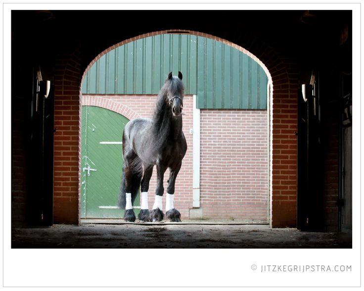 Brandus 345, captured by Jitzke Grijpstra photography. Friesian stallion Friese dekhengst