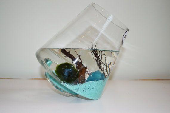 Terrarios Aqua de la bola de musgo Marimo por SunnyFlorists en Etsy