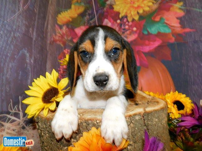 Beagle Babies Prespoiled Great With Kids Financing Vet