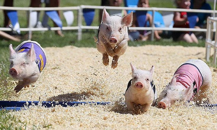 Pig Race, California, USA. Photograph by Justin Sullivan