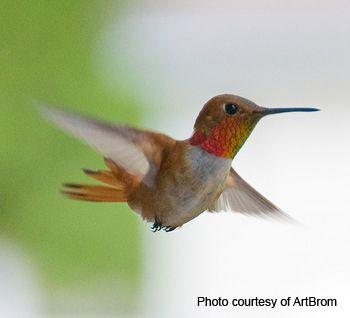 Hummingbird Photos.Hummmingbird Images.Hummingbird Pictures.