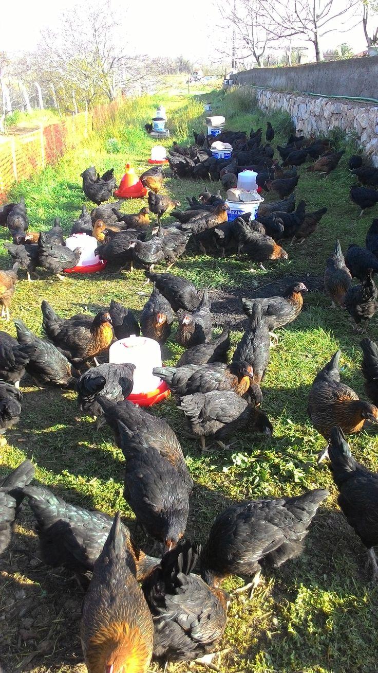 Mucur'da Yumurta Tavukçuluğu / Gezen Tavuk / Köy Tavuğu