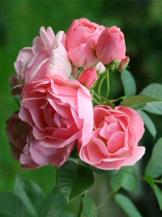 Rosa 'Astrid Lindgren ®' / Strauchrose 'Astrid Lindgren' první čtverec vlevo, vlevo vzadu