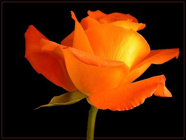 Orange Rose Pictures For Wallpaper | Indian Celebrity ZOON: Orange Rose