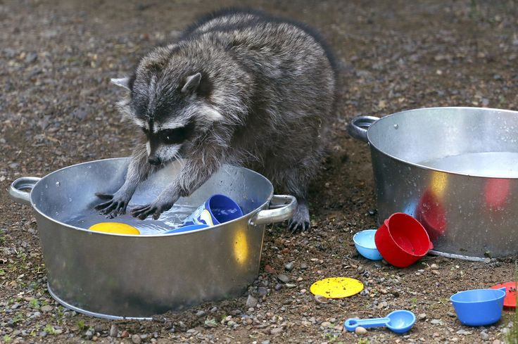 Masha, a female raccoon, plays with plastic dishes in a pot filled with water, placed by zoo employees, inside an enclosure at the Royev Ruchey zoo in Krasnoyarsk, Russia, on June 7, 2015.