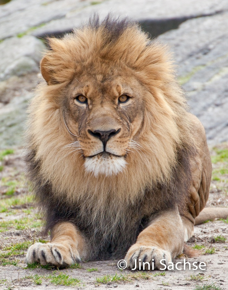 Wild Animals   Images By JiniWild Animal, Photos, African Lion,  King Of Beasts,  Panthera Leo, Beautiful Lion, Lion Art
