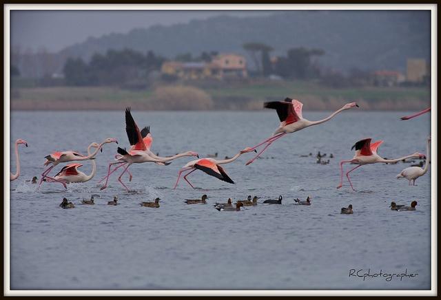 Rosa Flamingos in der Lagune von Orbetello