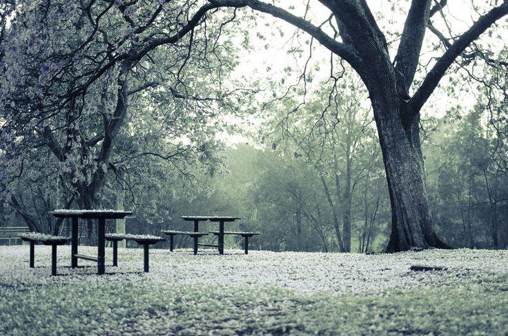Picnic tables under jacarandas at sunrise, Paramatta park, Sydney, Australia.