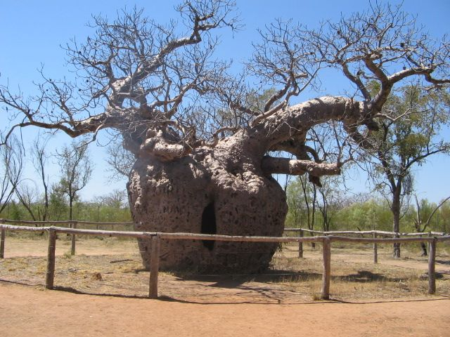 This Boabe Tree  is on the turn off -Broom - Darby in W.A