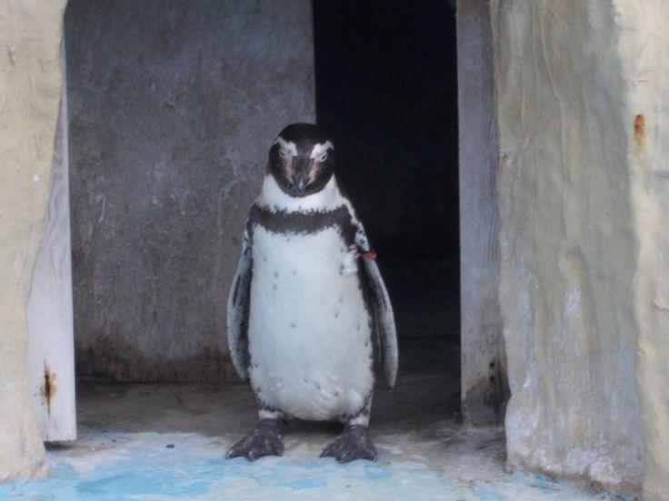 王子動物園のペンギンさん