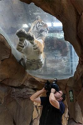 Gold Coast Theme Park Dreamworld's new tiger, freaking awesome..!