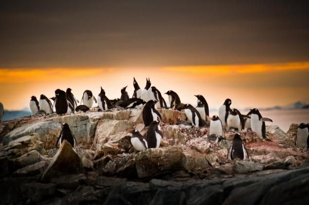 Penguins and mates and their young   on Petermann Island enjoy the midnight sun during summer in Antarctica.
