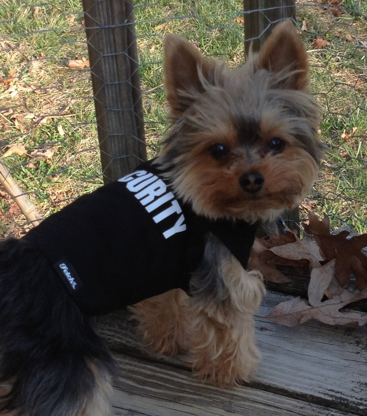 Bandit is wearing a custom made Fetch Dog Fashions shirt!  Its cute to see that a 3.5 lb Yorkie is a SECURITY guard!   www.fetchdogfashions.com
