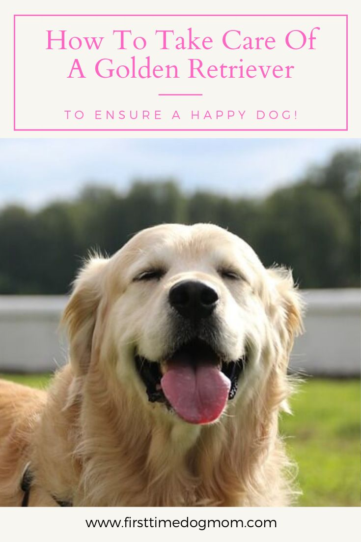 Golden Retrievers Have Special Requirements That Need To Be Met To