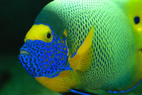 Bluefaced Angel Fish