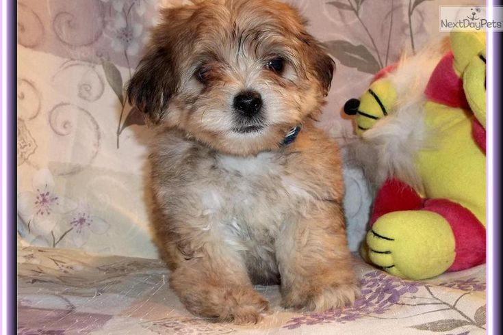 Meet Scamp a cute Yorkiepoo - Yorkie Poo puppy for sale for $600. Sweet Little Male Yorkie Poo