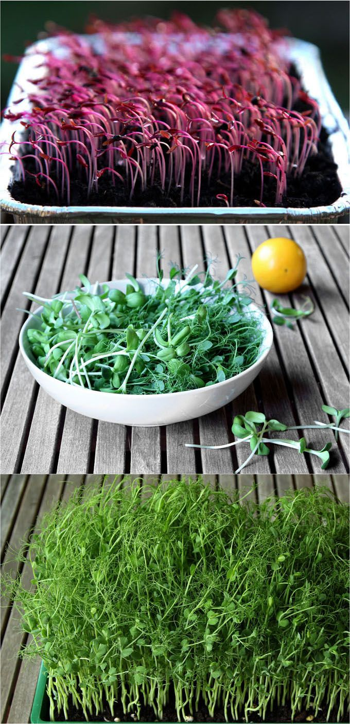 How to grow soil sprouts: an easy method to grow nutritious sprouts and baby greens in less than 2 weeks. Great for small space and indoor winter gardening! http://www.apieceofrainbow.com/indoor-salad-garden-soil-sprouts/2/