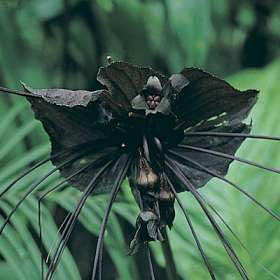 adult bat flower